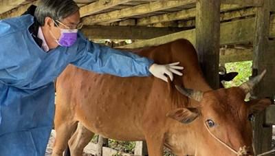 Bệnh viêm da nổi cục trên trâu, bò