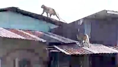 [VIDEO] Hàng chục con khỉ đu dây điện, leo mái tôn trộm đồ ăn