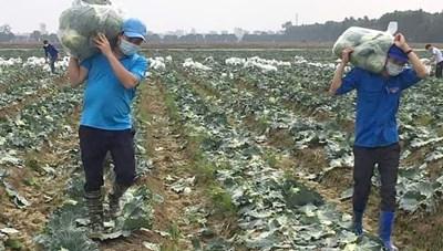 Hải Dương: Đoàn thanh niên thu hoạch bắp cải giúp nông dân