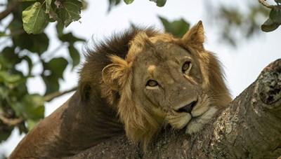 Phát hiện 6 con sư tử bị xẻ thịt trong công viên Uganda
