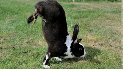 Khám phá thỏ sauteur di chuyển bằng cách 'trồng cây chuối'