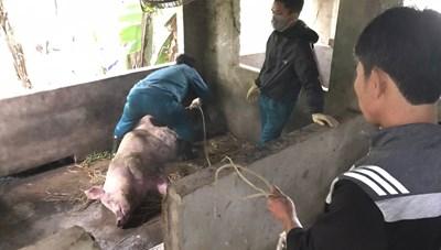 Người nuôi lợn ở Nghệ An điêu đứng vì dịch