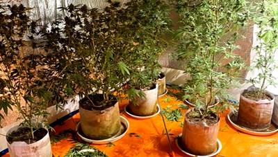 Lên mạng mua giống về trồng cần sa trong nhà kín
