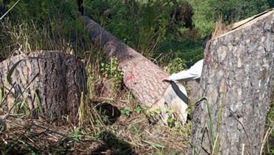 Lâm Đồng: Rừng thông cổ thụ bị cưa hạ trái phép