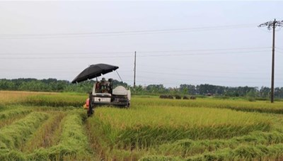 Ngày mùa đặc biệt của nông dân vùng dịch
