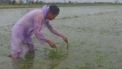Hà Tĩnh: Hơn 12,6 nghìn ha lúa, hoa màu ngập úng