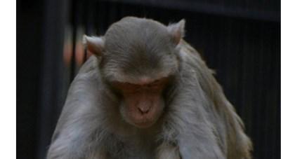 Tai họa đến từ con khỉ… nghiện rượu