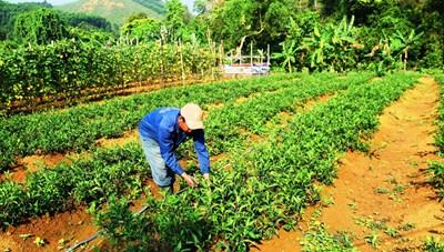 BẢN TIN MẶT TRẬN: Thoát nghèo từ cây rau rừng trên dãy Trường Sơn