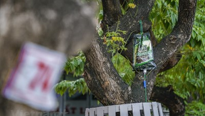 [ẢNH] 'Truyền dịch cấp cứu' hàng cây sưa đỏ bạc tỷ ở Hà Nội