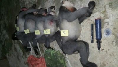 Điều tra, xử lý vụ '5 con voọc quý hiếm bị bắn hạ'