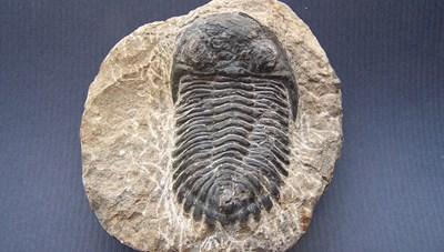 Phát hiện hóa thạch loài bọ ba thùy dị thường có tai thỏ