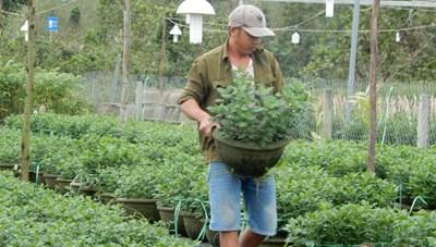 Đà Nẵng: Nông dân thấp thỏm vụ hoa Tết