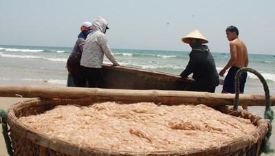 Ngư dân Quảng Nam trúng đậm ruốc biển cuối mùa