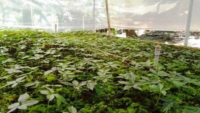 Quảng Nam: Quyết tâm bảo tồn, phát triển sâm Ngọc Linh