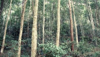 Trồng rừng gỗ lớn cho thu nhập cao