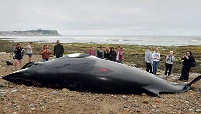 Phát hiện xác cá voi dài 8m mắc vào lướingư dân