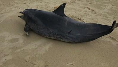 Quảng Ngãi: Phát hiện một cá voi chết dạt vào bờ biển