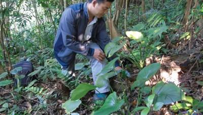 Trồng cây dược liệu dưới tán rừng