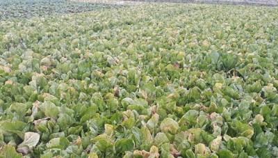 Giá rau xanh rẻ, nông dân Hà Tĩnh bỏ đầy ruộng không thu hoạch