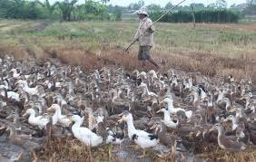 Trà Vinh: Tiêu huỷ gần 1.000 con gia cầm dương tính với cúm A/H5N1