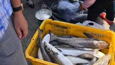 Kiên Giang: Gần 35 tấn cá lồng bè chết chưa rõ nguyên nhân