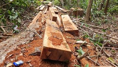 Quảng Nam: Rừng tự nhiên lại bị xẻ thịt