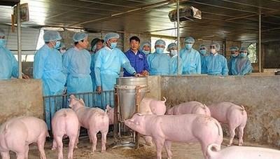 Vẫn cần cảnh giác với dịch tả lợn châu Phi