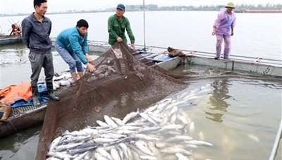 Hải Dương: Công bố nguyên nhân hơn 100 tấn cá lồng bị chết