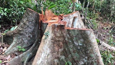 Đắk Lắk: Xử lý nghiêm vụ phá rừng pơmu tại huyện Krông Bông