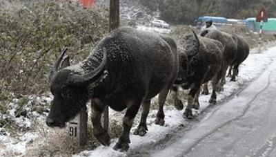 Yên Bái:Thiệt hại do gia súc bị chết rét lên tới 15 tỷ đồng