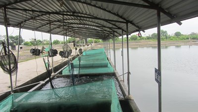Yên Lập: Thu gần 15 tỷ đồng từ nghề ương cá giống