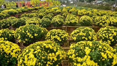 [ẢNH] Phát sốt với vườn hoa cúc mâm xôi tuyệt đẹp ngay giữa Thủ đô