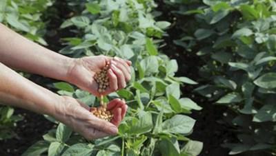 Cách trồng rau ngót hiệu quả