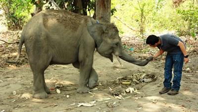 Can thiệp kỹ thuật để voi nhà tại Đắk Lắk sinh sản