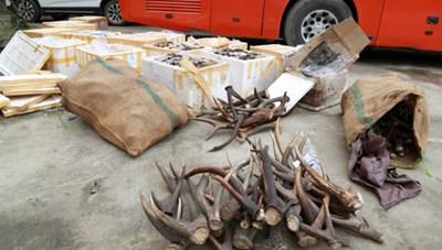 Gần một tấn nội tạng thối và sừng thú hoang 'đi xe khách' vào TP HCM