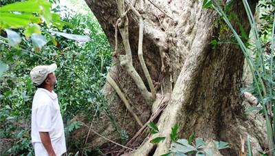 Gia đình xứ Quảng giữ gìn cây sưa cổ thụ qua 6 thế hệ