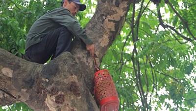 Hái sấu đầu mùa kiếm tiền triệu mỗi ngày ở Hà Nội