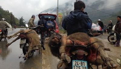 Kon Tum: Nhiều trâu bò chết rét trong đợt mưa lạnh kéo dài