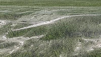 Lạ lùng nhện giăng tơ phủ kín sân cỏ