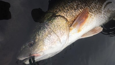 Ngư dân Quảng Bình câu được con cá 3 kg nghi sủ vàng