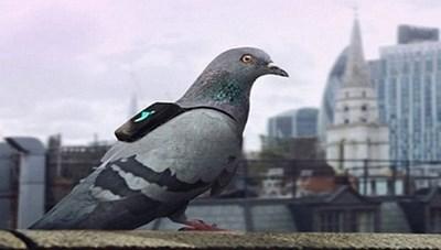 'Nhờ' chim bồ câu giám sát ô nhiễm không khí