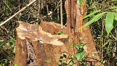 [NÓNG]: Rừng đầu nguồn bị tàn phá, chính quyền, kiểm lâm 'không biết gì'?