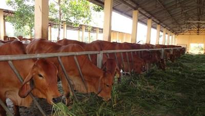 Phát triển đàn bò theo quy mô tập trung