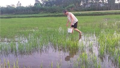 Quảng Bình: Ốc bươu vàng phá hoại lúa hè thu