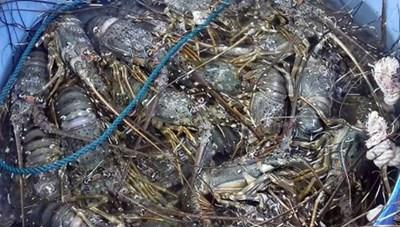Sông Cầu (Phú Yên): Tôm hùm chết hàng loạt