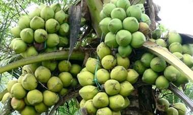 Trà Vinh:  Nông dân đổi đời nhờ trồng dừa sáp