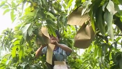 Túi bao trái xoài không chứa chất độc hại
