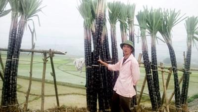 Èo uột cây mía Cao Phong