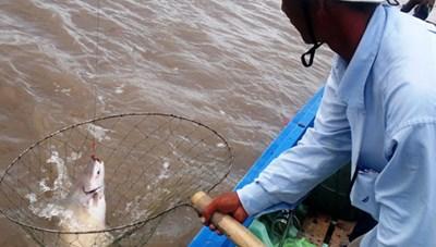 Săn cá dứa trên Đại Môn Giang