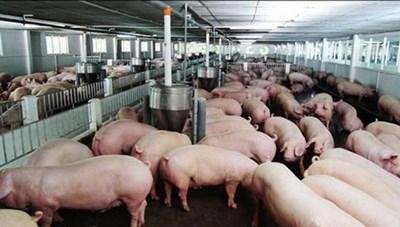 Lợn sống nhập khẩu phải cách ly kiểm dịch 30 ngày